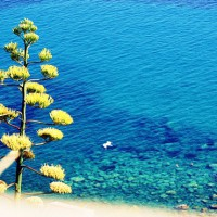 Liguria – il fiore dell'agave